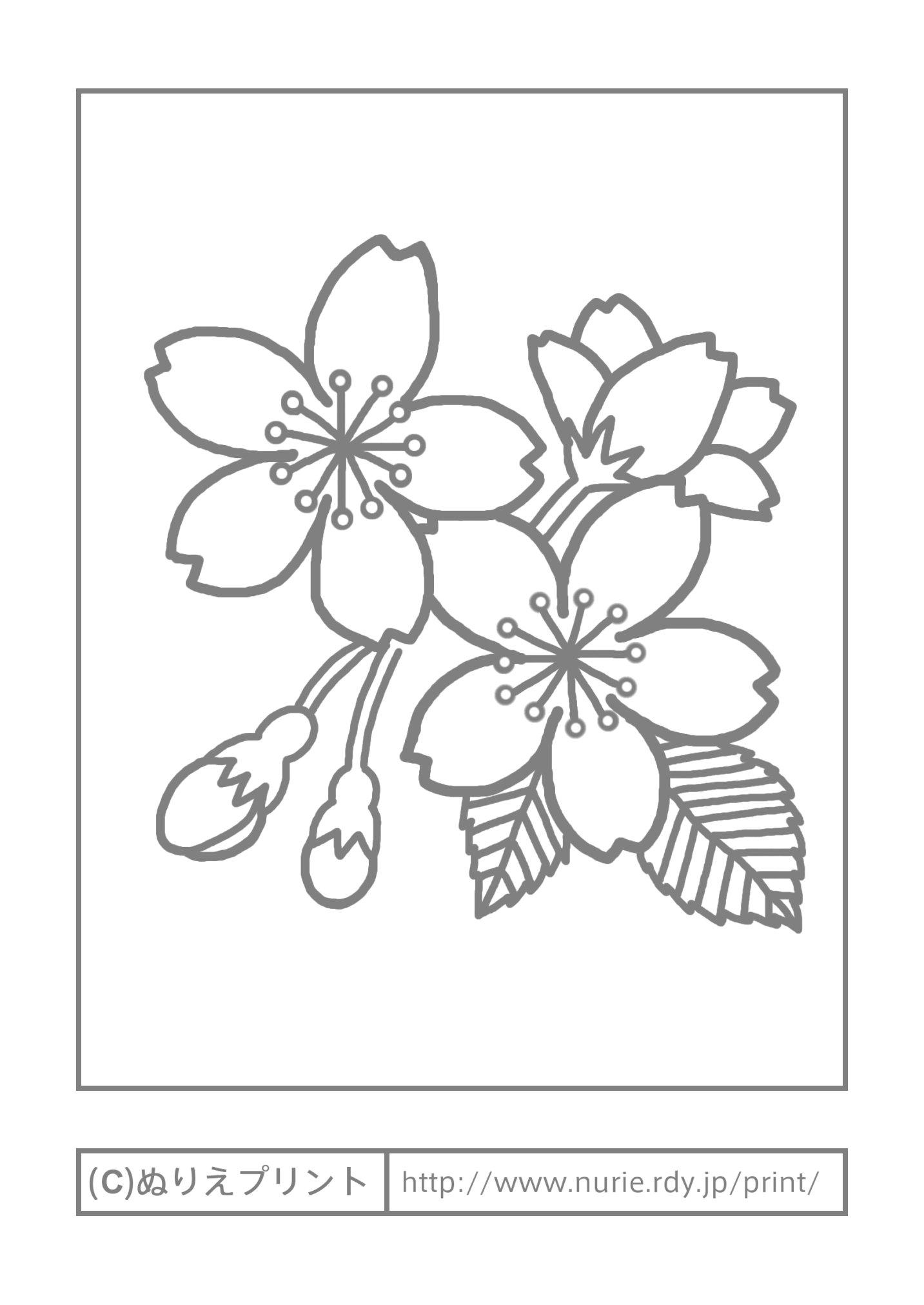すべての講義 こども ぬりえ : Cherry Blossom Flower Coloring Page