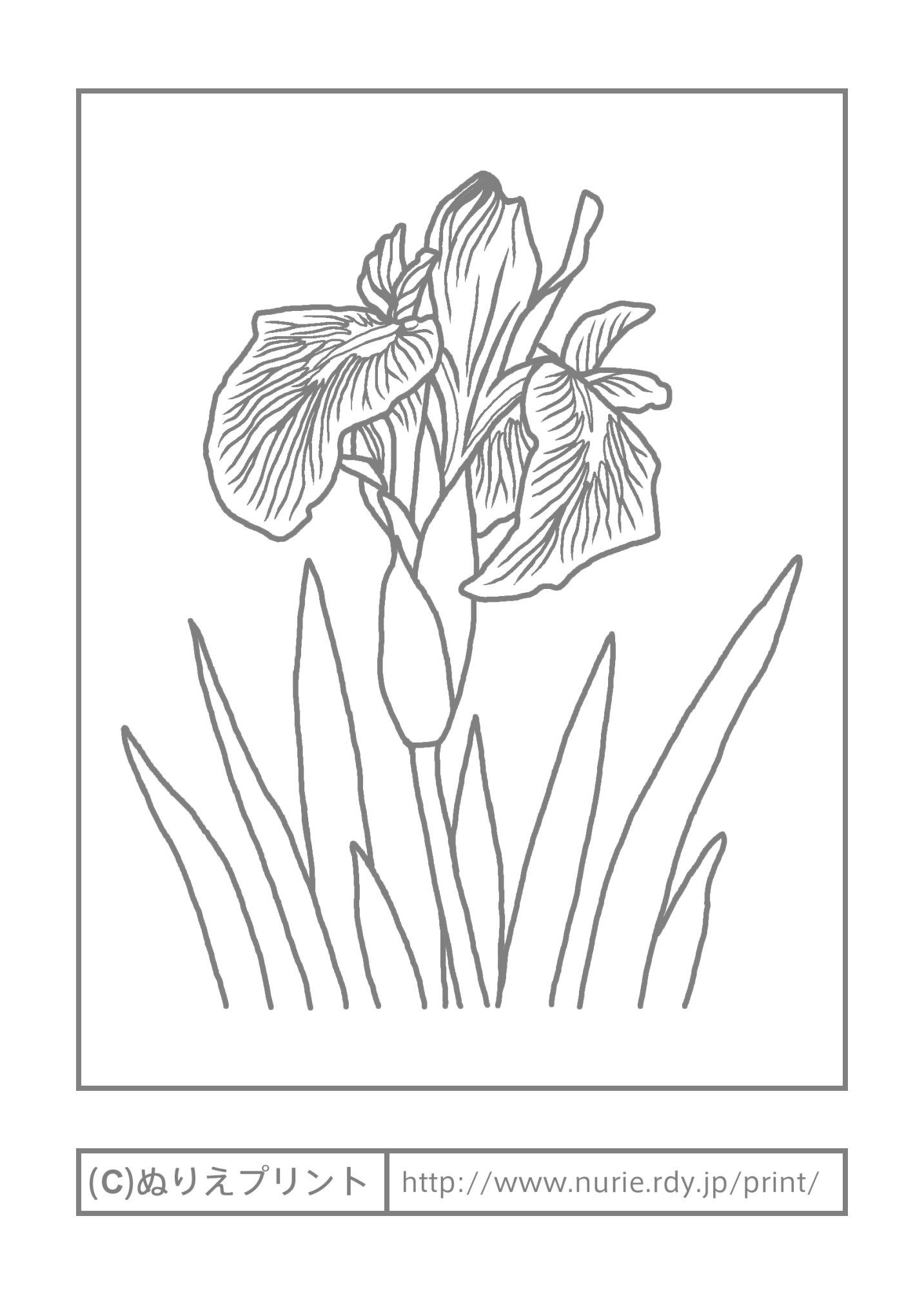 カキツバタの画像 p1_26